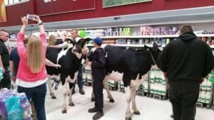 Cows herded through Asda